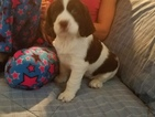 English Springer Spaniel Puppy For Sale in GALESBURG, IL, USA