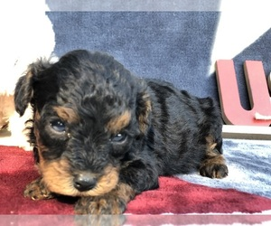Cavapoo Puppy for sale in CLAY, PA, USA