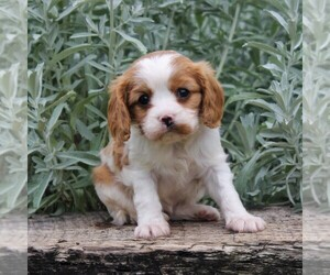 Cavalier King Charles Spaniel Dog for Adoption in GAP, Pennsylvania USA