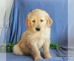 Small #3 Golden Retriever