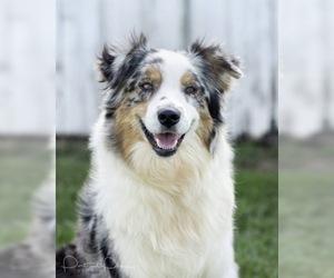 Mother of the Australian Shepherd puppies born on 02/27/2021