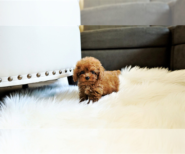 Medium Photo #1 Poodle (Standard) Puppy For Sale in LAS VEGAS, NV, USA