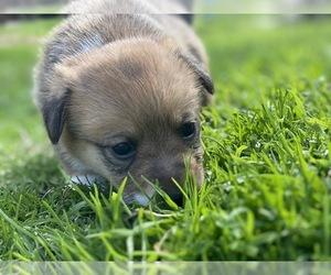 Pembroke Welsh Corgi Puppy for sale in BRYAN, TX, USA