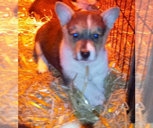 Pembroke Welsh Corgi Puppy for sale in SPOTSYLVANIA, VA, USA