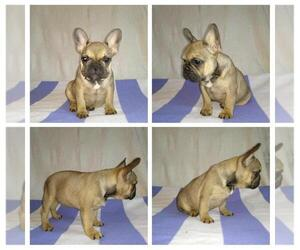 French Bulldog Puppy for sale in KLEIN, TX, USA