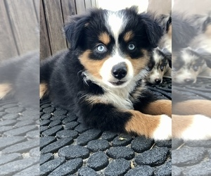 Miniature Australian Shepherd Puppy for Sale in COLLEGE STA, Texas USA