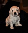 Golden Retriever Puppy For Sale in MISSOURI CITY, TX