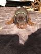 Doberman Pinscher Puppy For Sale in MALIBU, CA, USA