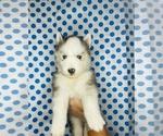 Puppy 4 Alaskan Husky