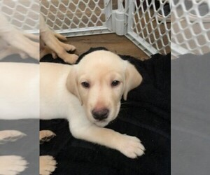 Labrador Retriever Puppy for Sale in GROVETOWN, Georgia USA