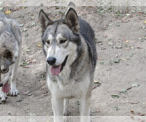 Father of the Wolf Hybrid puppies born on 10/30/2020