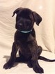 Dutch Shepherd Dog Puppy For Sale in BURGETTSTOWN, PA, USA