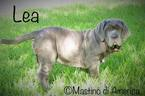 Neapolitan Mastiff Puppy For Sale in FORT LAUDERDALE, FL, USA