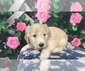Pyredoodle Puppy for sale in MONCLOVA, OH, USA