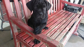 Cane Corso Puppy For Sale in LOXAHATCHEE, FL, USA