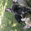 French Bulldog Puppy For Sale in Oakwood, Ontario, Canada