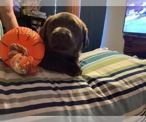 Labrador Retriever Puppy for sale in ORANGE, TX, USA
