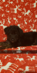 German Shepherd Dog-Goldendoodle Mix Puppy For Sale in CAMP DOUGLAS, WI, USA