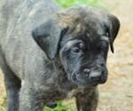 Memorial Day English Mastiff Pups