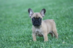 French Bulldog Puppy For Sale in CADOTT, WI, USA