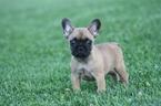 French Bulldog Puppy For Sale in CADOTT, WI,