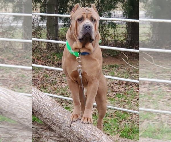 Medium Photo #11 Cane Corso Puppy For Sale in AMARILLO, TX, USA