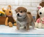 Small Photo #2 Shiba Inu Puppy For Sale in LOS ANGELES, CA, USA