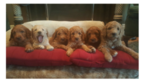 Goldendoodle Puppy For Sale in MURFREESBORO, TN, USA
