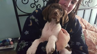 German Shorthaired Pointer Puppy For Sale in SCOTTSDALE, AZ