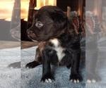 Small #2 Black Mouth Cur-Labrador Retriever Mix
