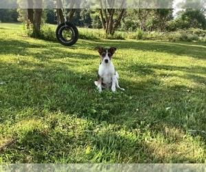 Medium Australian Cattle Dog-Jack Russell Terrier Mix