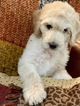 Labradoodle Puppy For Sale in HILL COUNTRY VILLAGE, TX, USA