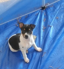 Rat Terrier Puppy For Sale in SPRING HILL, KS, USA