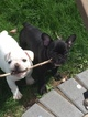 French Bulldog Puppy For Sale in LONDON, OH