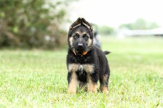 German Shepherd Dog Puppy for sale in DUSON, LA, USA