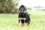 German Shepherd Dog Puppy For Sale in DUSON, LA