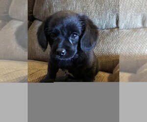 Poodle (Miniature)-Puggle Mix Puppy for sale in ELMWOOD, WI, USA