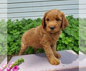 Goldendoodle Puppy for sale in SAN JOSE, CA, USA