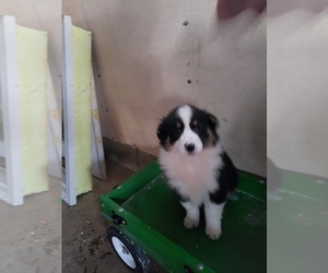 Australian Shepherd Puppy for sale in HAZLETON, IA, USA