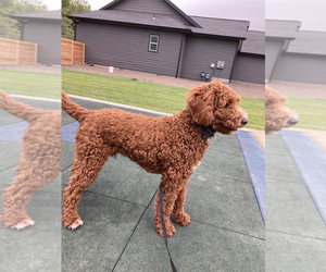 Poodle (Miniature) Puppy for sale in ADDY, WA, USA