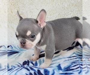 French Bulldog Puppy for Sale in HESPERIA, California USA