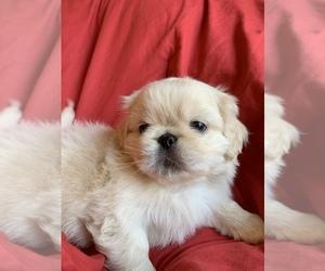 Pekingese Puppy for sale in ODD, WV, USA