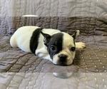 Small #15 French Bulldog