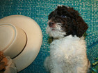 F1B Med Labradoodle Puppy