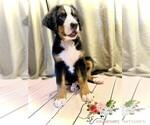Puppy 12 Bernese Mountain Dog