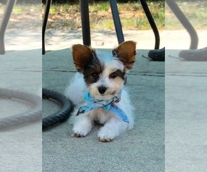 Yorkshire Terrier Puppy for sale in STKN, CA, USA