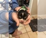 Small #15 Pembroke Welsh Corgi