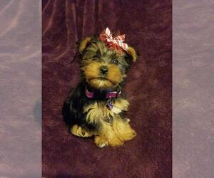Yorkshire Terrier Puppy for sale in BELLEVILLE, IL, USA