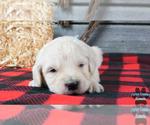 Puppy 3 English Cream Golden Retriever-Poodle (Standard) Mix
