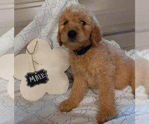 Goldendoodle Puppy for Sale in COMMERCE, Texas USA